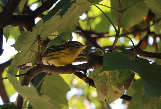 warbler, Magnolia 008