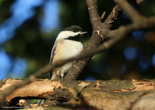 Black-capped Chickadee 020