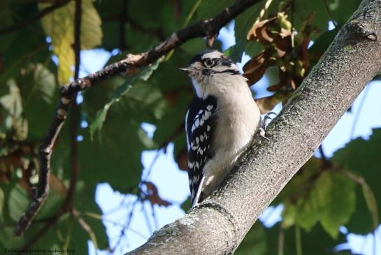 Woodpecker, Douny 018