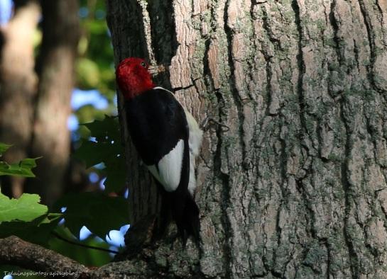 woodpecker, Red-headed 011