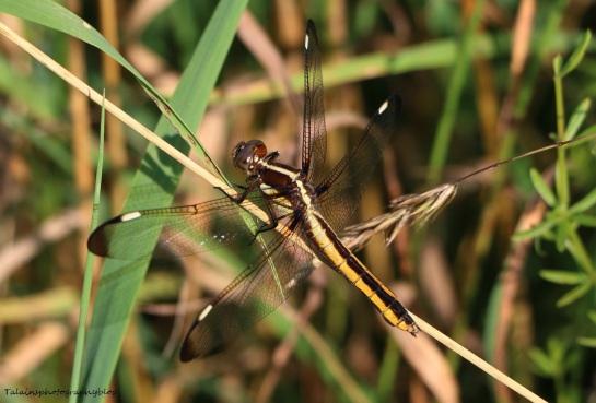 Dragomfly 005