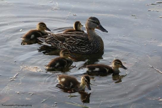 Ducks, Mallard 050