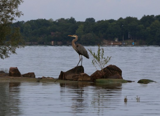 Great Blue Heron 024