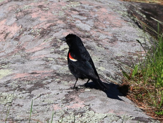 Redwinged Blackbird 006