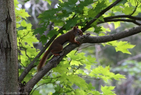 squirel, red 01