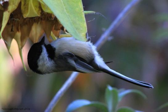 Black-capped Chickadee 030