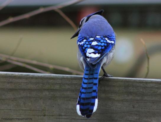 Blue Jay 010