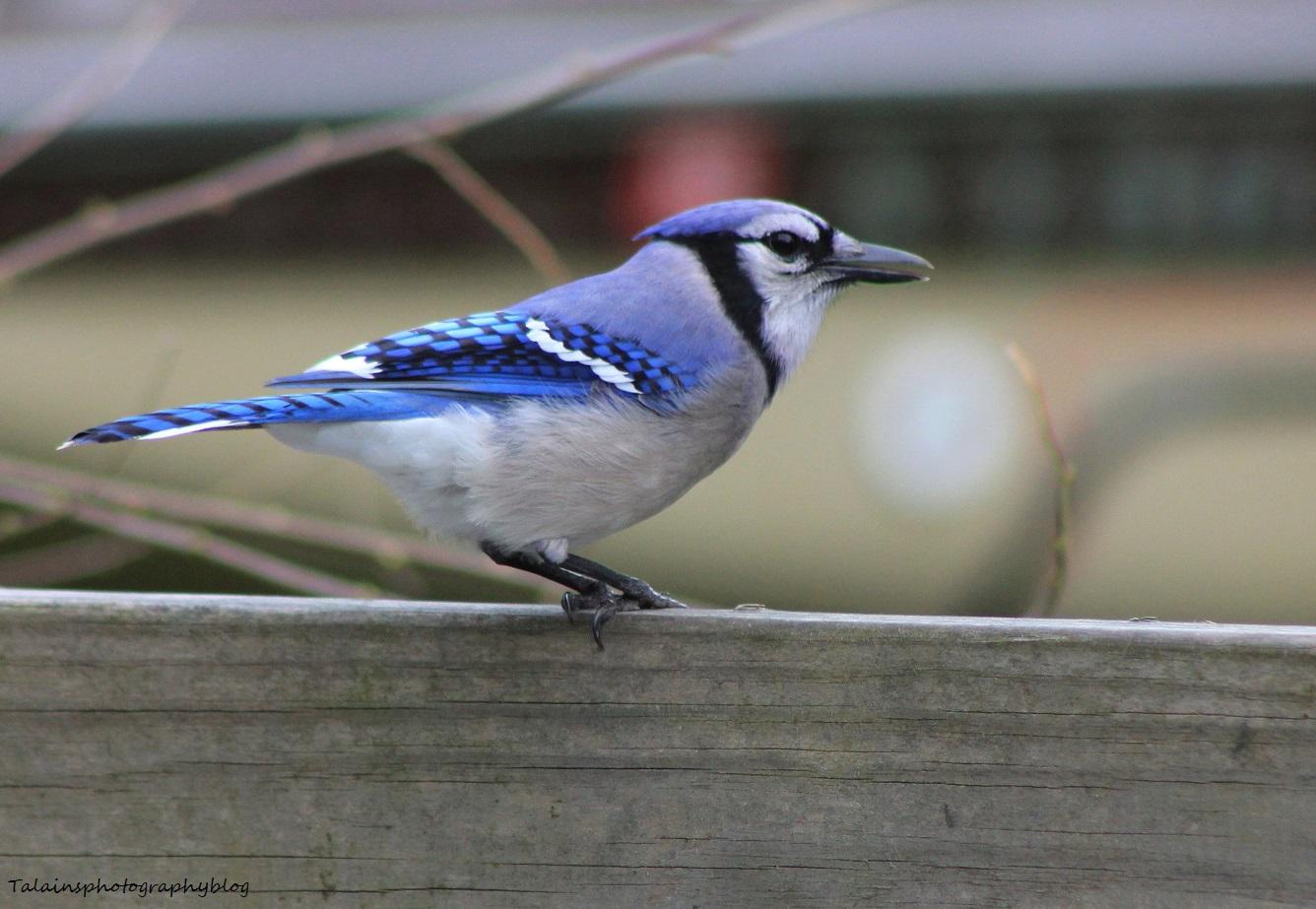 Blue Jay 012