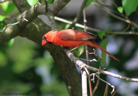 Cardinal 036