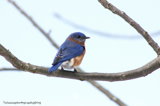 eastern bluebird043