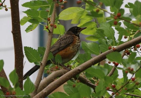 American Robin 005