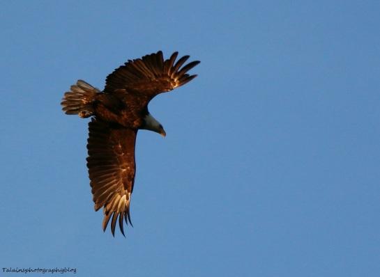 Bald Eagle 052