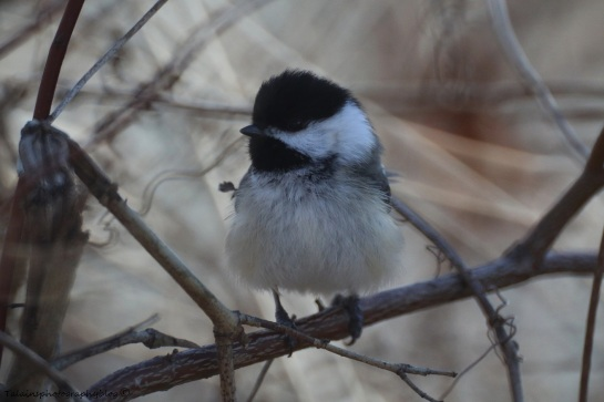 Black-capped Chickadee 001