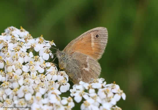 Butterfly 033 Prairie Ringlet