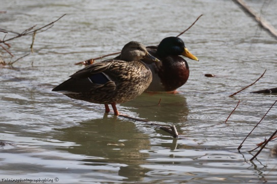 Ducks, Mallards 002