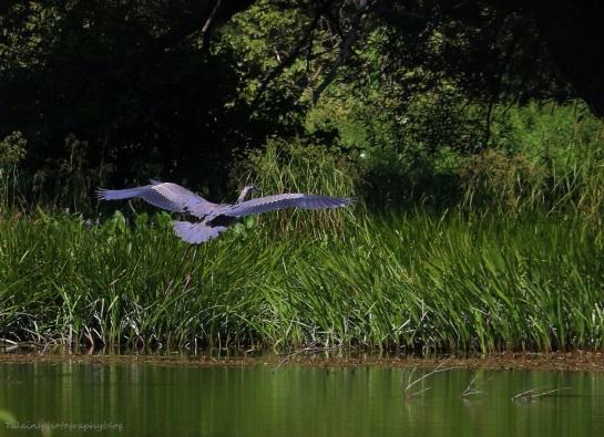 Great Blue Heron 014