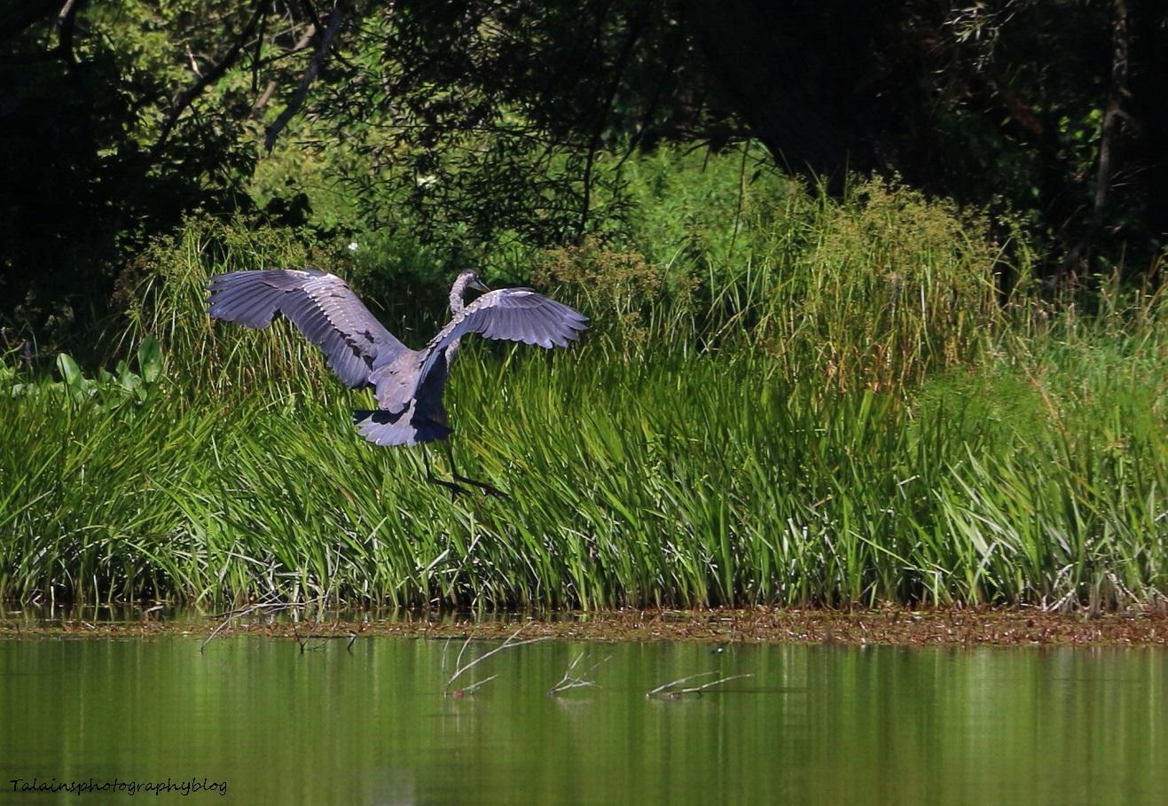 Great Blue Heron 015