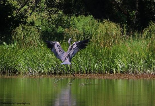Great Blue Heron 016