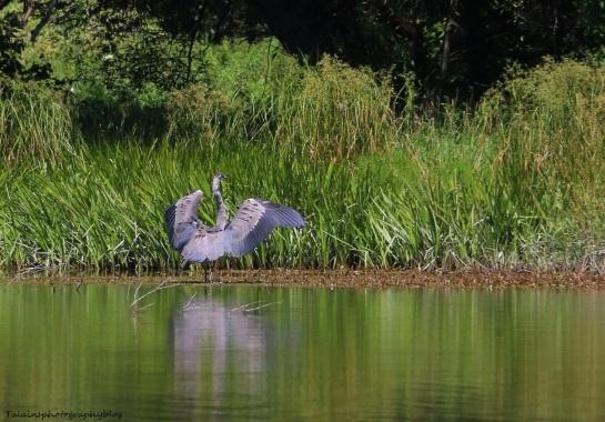 Great Blue Heron 017