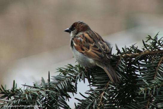 house_sparrow13