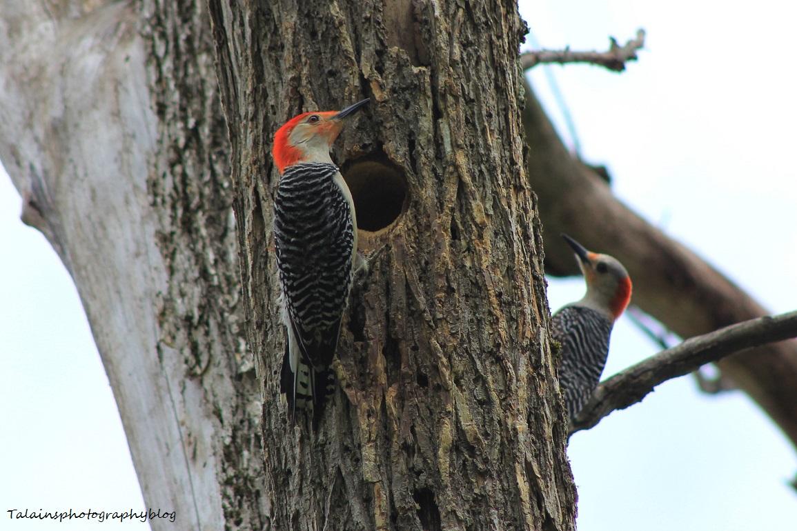 red-bellied woodpecker020X