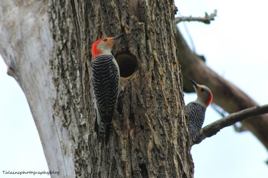 red-bellied woodpecker020X