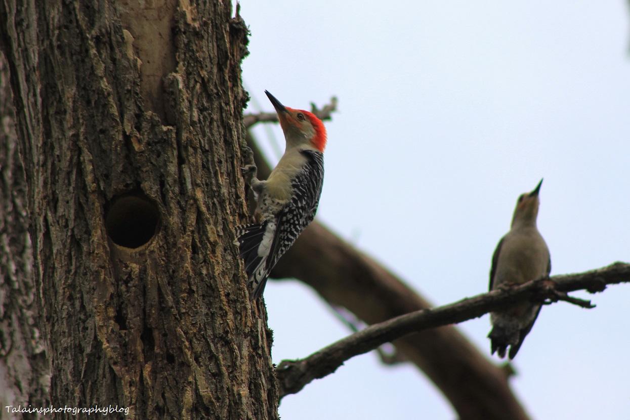 red-bellied woodpecker022