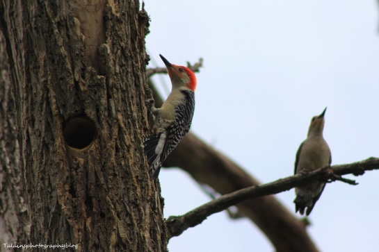 red-bellied woodpecker022