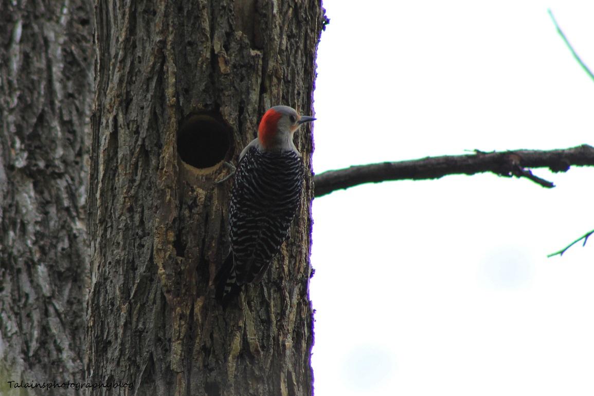red-bellied woodpecker023