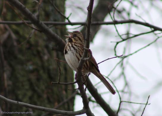 Sparrow, Song, 004
