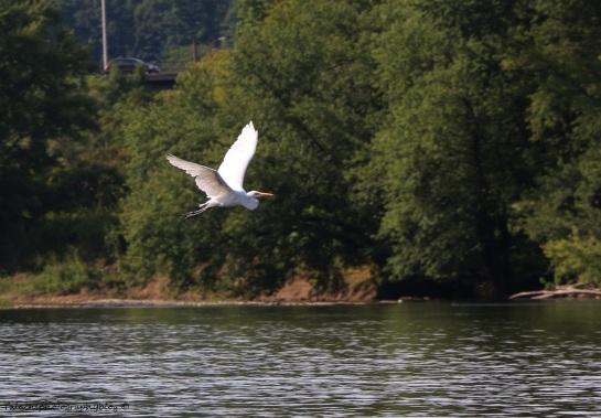 White Heron 03