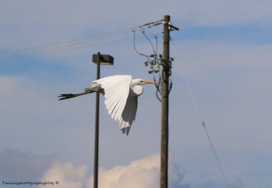 White Heron 04
