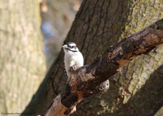 Woodpecker, Downy 002