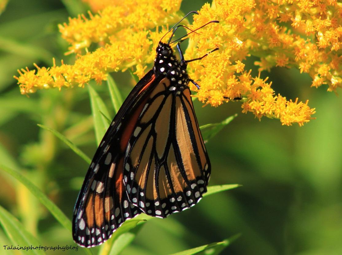 butterfly 116