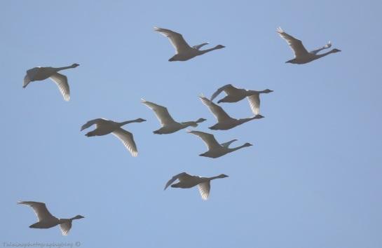 Swan, Tundra 005