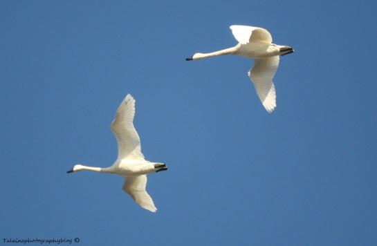 Swan, Tundra 006