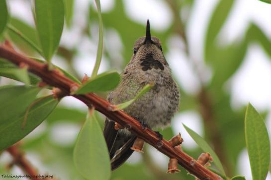 anna's hummingbird 045