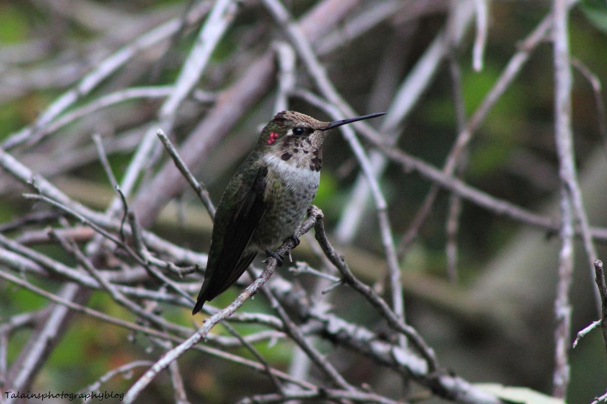 anna's hummingbird 076