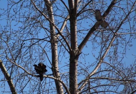 Bald Eagle 008