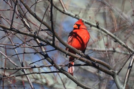 Cardinal 006