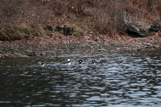 Ducks, Bufflehead 003
