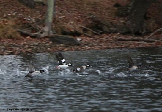 Ducks, Bufflehead 004