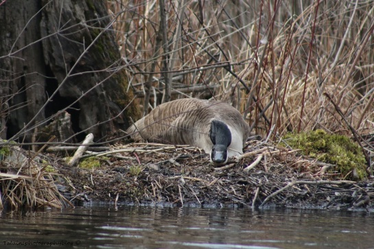 Geese, Canada 024