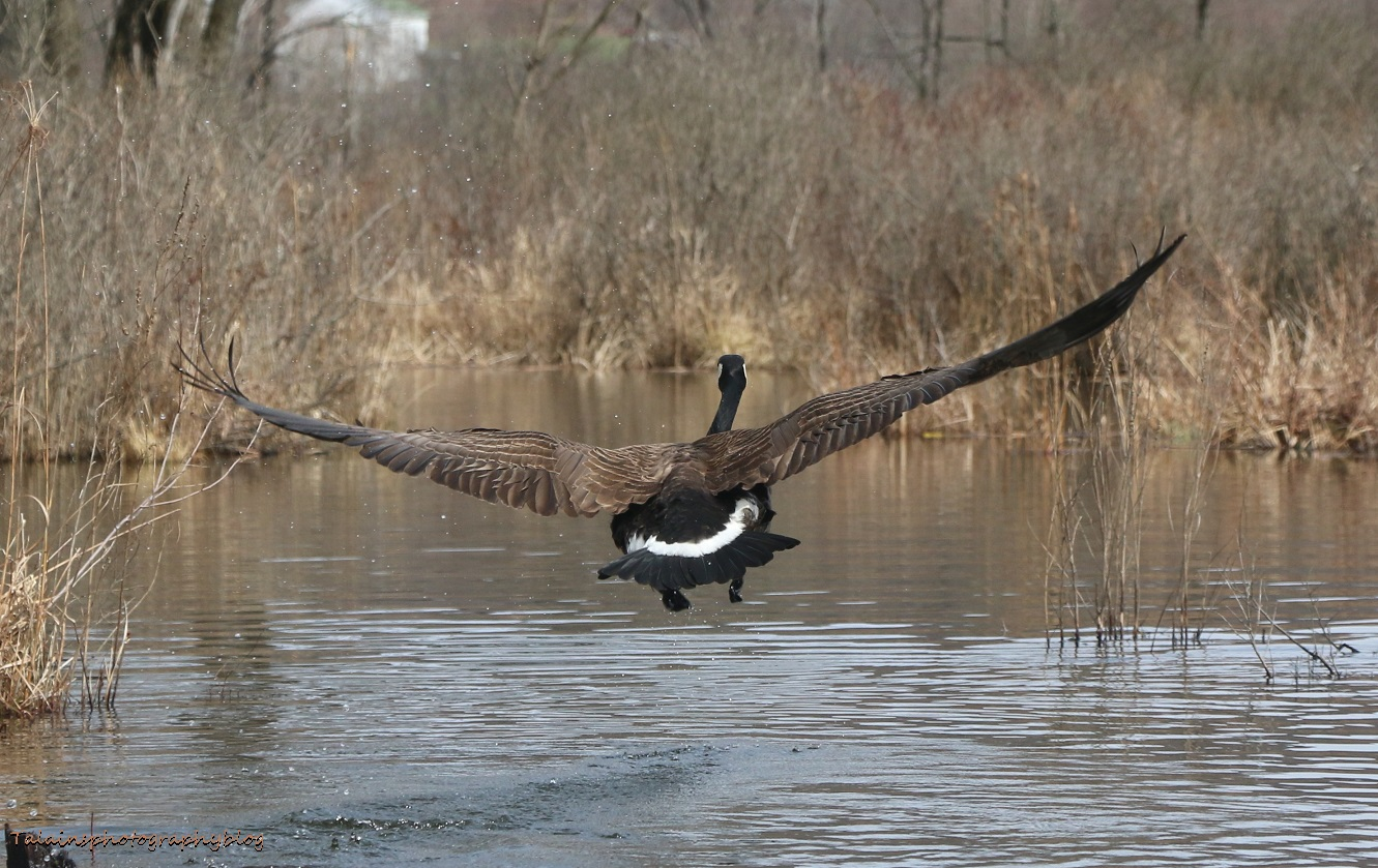 Geese, Canada 032