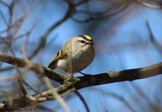 Kinglet, Golden-crowned 010