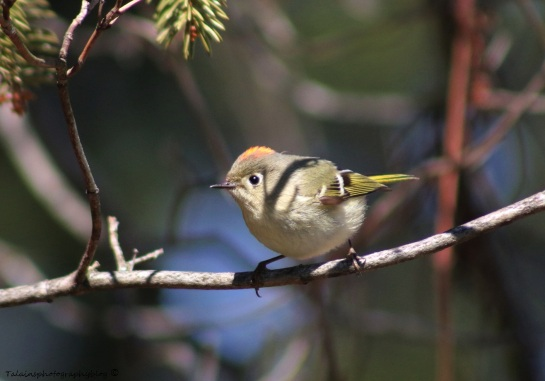 Kinglet, Ruby-crowned 002