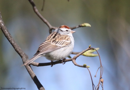 Sparrow, Chipping 010