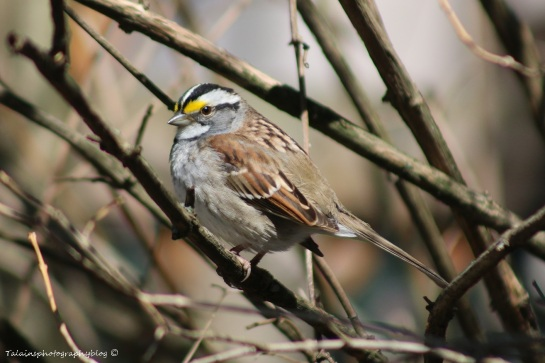 Sparrow, White-throated 003