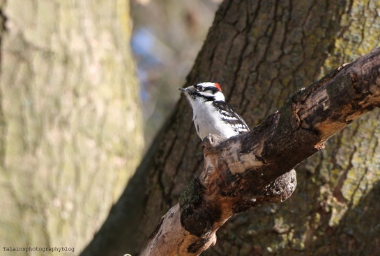 Woodpecker, Downy 003