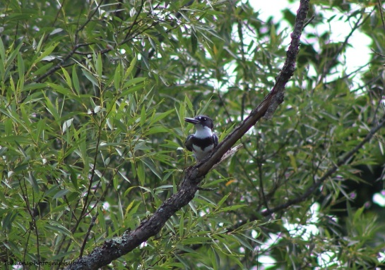 Belted Kingfisher 02